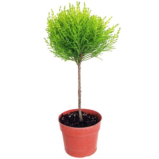 Lemon Scented Goldcrest Poodle Cypress Tree Indoors Out 6 Pot Walmart Com Walmart Com