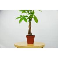 "Money Tree - Pachira Braid - Bonsai Plant / 4"" Pot"