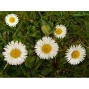 Daisy Garden Macro Plant Flower Composites White-24 Inch By 36 Inch Laminated Poster With Bright Colors And Vivid Imagery-Fits Perfectly In Many Attractive Frames