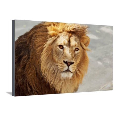 Eye to Eye Contact with a Young Asian Lion. Stretched Canvas Print Wall Art By