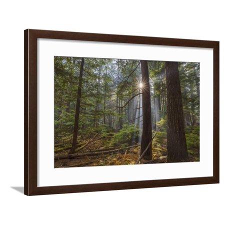 Sun Rays Penetrate Forest Floor at Ross Creed Cedar Grove in Kootenai National Forest, Montana Framed Print Wall Art By Chuck (Homes For Sale In Cedar Grove Nj)