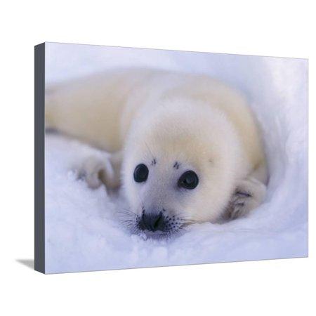 Newborn Harp Seal Stretched Canvas Print Wall Art By Staffan Widstrand
