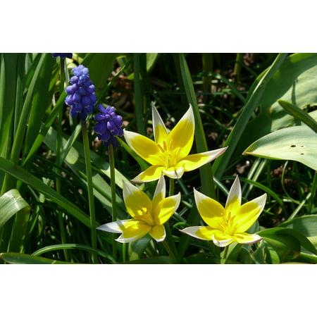 Laminated Poster Tulip Tarda Blue Yellow Grape Hyacinth Muscari Poster Print 24 x 36