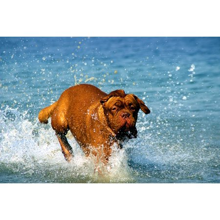 Framed Art for Your Wall De Dog Bordeaux Lake Muddy Dogue Water Bathing 10x13 Frame