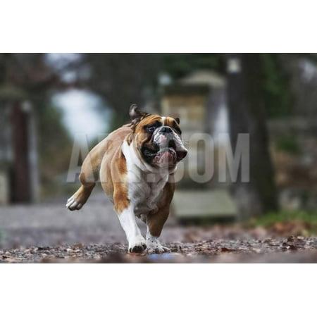 Crazy English Bulldog Puppy Running Print Wall Art By Best dog (Best In Show English Bulldog)