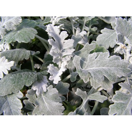 Image of Expert Gardener No Shade 6pk Dusty Miller