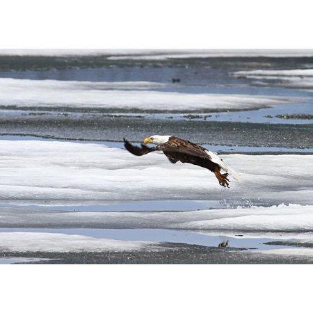 LAMINATED POSTER Raptor Taking Flight Predator Flying Bald Eagle Poster Print 24 x (Flying Bald Eagle)