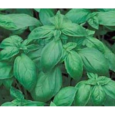Basil Italian Large Leaf Great Garden Herb 1,200 Seeds