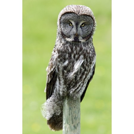 Great Grey Owl Water Valley Alberta Canada Canvas Art - Darwin Wiggett  Design Pics (11 x 17) ()