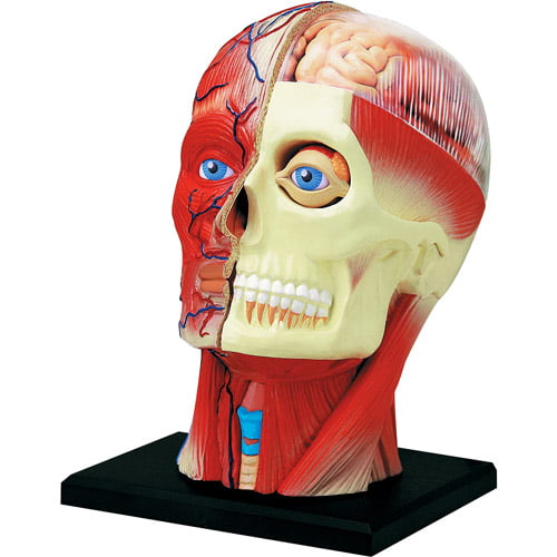 4D Vision Human Head Anatomy Model by Generic