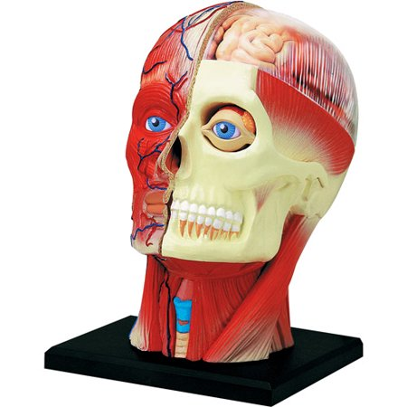 4D Vision Human Head Anatomy Model - Anatomy Games