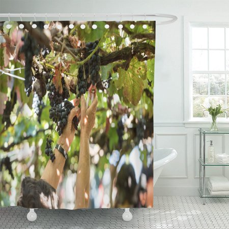 PKNMT People Harvesting Grapes in The Vineyard of Madeira Wine Shower Curtain 60x72 inches