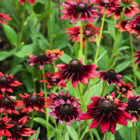 Rudbeckia (Black Eyed Susan) Seeds - Cherry Brandy - 100 Seeds - Cherry Red Blooms - Biennial Black-Eyed Susan Flower Garden