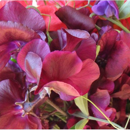 Midnight Mix Sweet Pea Seeds 150 +1 Free Plant (Designs Sweet Pea)