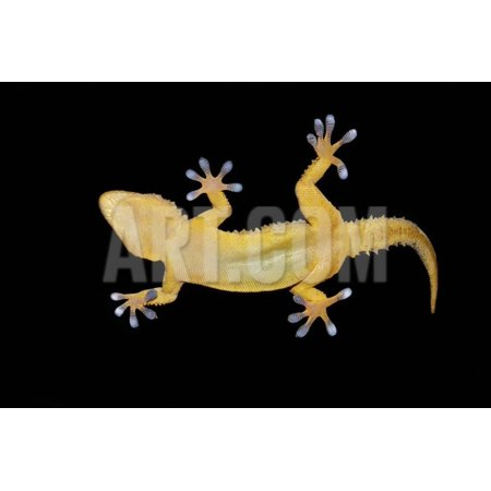 Gecko Lizard on Clear Glass Print Wall Art By nico99