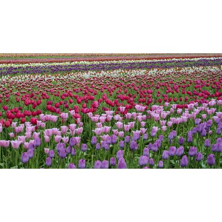 Tulips at Wooden Shoe Tulip Farm Woodburn Marion County Oregon USA Poster (Map Of Woodburn Oregon)