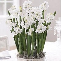 Ziva Paperwhites Narcissus 10 Bulbs
