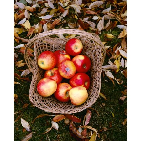 Agriculture - Fresh Fuji apples in a basket on a grass lawn with Autumn leaves  Upper Hood River Valley Oregon USA Stretched Canvas - Charles Blakeslee  Design Pics (13 x 17)