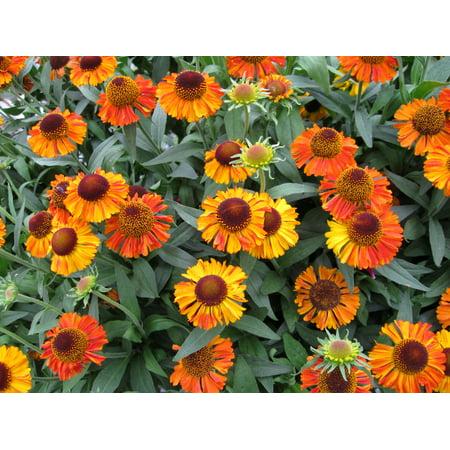 Image of Better Homes&gardens 2.5qt Helenium Shrt N Sasy