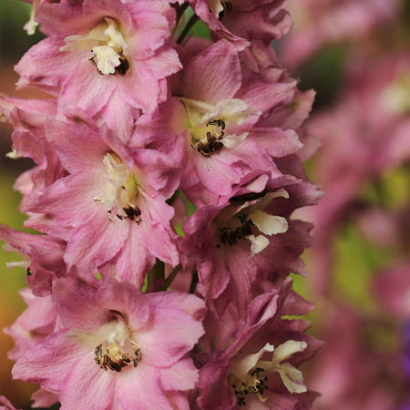 Delphinium pacific giant series flower seeds astolat 1000 seeds delphinium pacific giant series flower seeds astolat 1000 seeds perennial flower garden seeds mightylinksfo