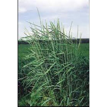 The Dirty Gardener Slender Wheatgrass Ornamental Grass - 1 (Pampas Ornamental Grass)