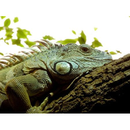 LAMINATED POSTER Skin Iguana Reptile Exotic Lizard Poster Print 24 x 36