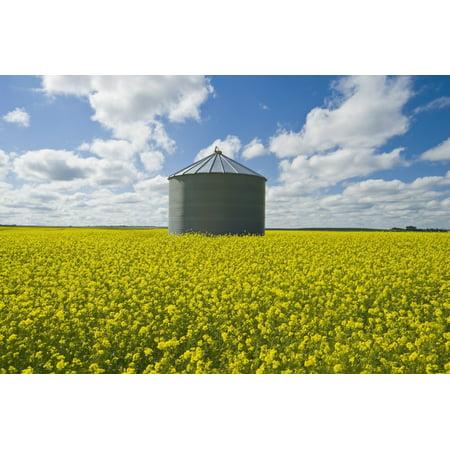 Daves Grain (Bloom Stage Mustard Field And Grain Bin Ponteix Saskatchewan Canada Canvas Art - Dave Reede  Design Pics (19 x 12) )