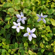 winter greenhouse isotoma fluviatillis blue star creeper for miniature garden fairy garden - Fairy Garden Accessories