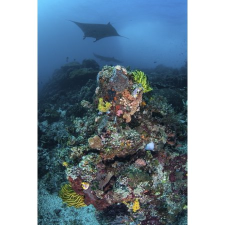 A manta ray swimming above a colorful reef in Indonesia Canvas Art - Ethan DanielsStocktrek Images (23 x 34)