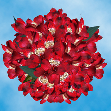 GlobalRose 120 Blooms of Red Select Alstroemerias 30 Stems - Peruvian Lily Fresh Flowers for Delivery