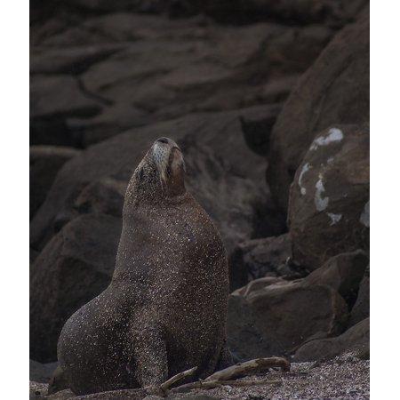 LAMINATED POSTER Majestic Nature Pride Sea Lion Wild Sea Proud Poster Print 11 x 17