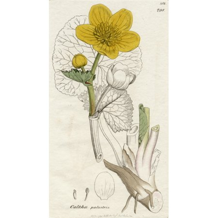 Caltha Palustris-Marsh Marigold1798 Print By James Sowerby (1757-1822) British Botanical Artist From The Book English Botany By Sir James Edward Smith With Illustrations By James SowerbyPublished C179
