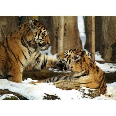 LAMINATED POSTER Young Animal Cat Snow Tiger Animals Predator Poster Print 24 x 36](Snow Tiger For Sale)