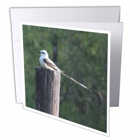 3Drose Scissor Tail Fly Catcher  Greeting Cards  6 X 6 Inches  Set Of 12