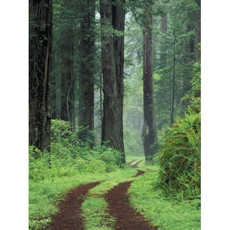 Coast Trail, Old Highway 101 with Coast Redwoods, Del Norte Coast State Park, California, USA Print Wall Art By Jamie & Judy (Del Norte Coast Redwoods State Park Reviews)