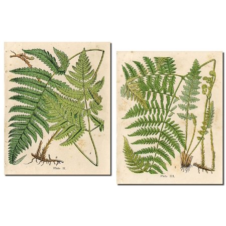 Popular Old-Fashioned Fern Botanical Prints; Two 11x14in Poster Prints (Old Botanical Prints)