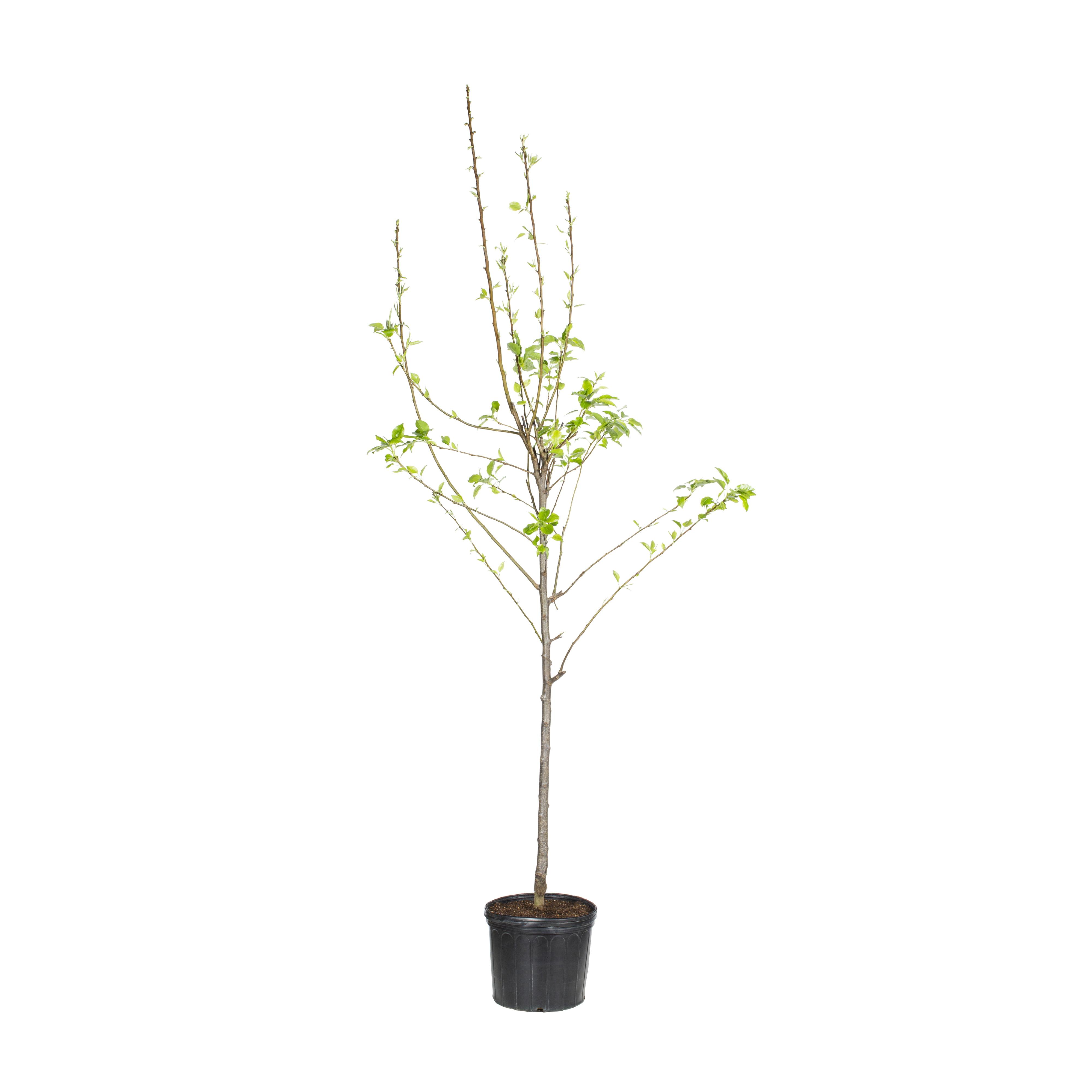 Expert Gardener 3.25G Pineapple Pear Fruit Tree - Walmart ...