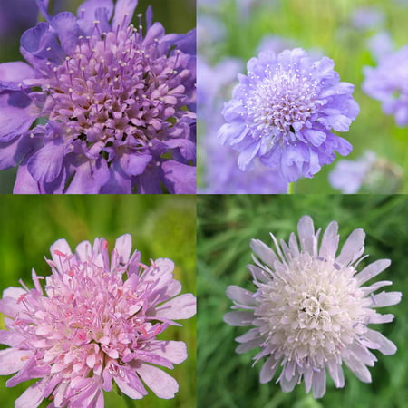 Scabiosa Flower Seeds Higro Mix 500 Seeds Lavendar And Blue