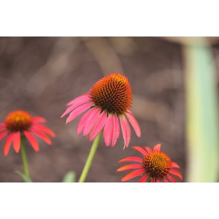 LAMINATED POSTER Echinacea Ruby Star Purple Coneflower Poster Print 24 x 36