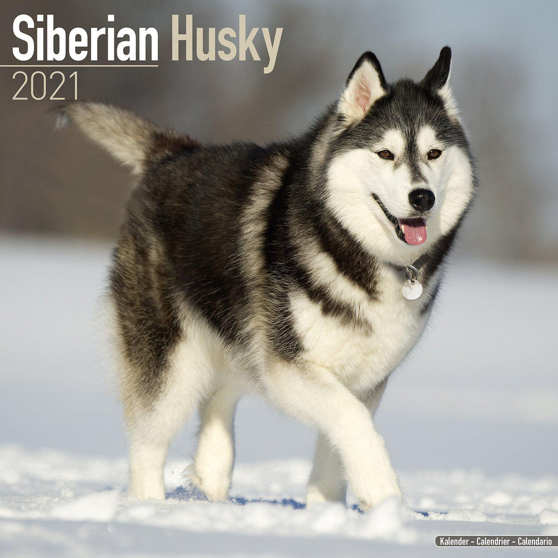 Siberian Husky Calendar 2021   Siberian Husky Dog Breed Calendar