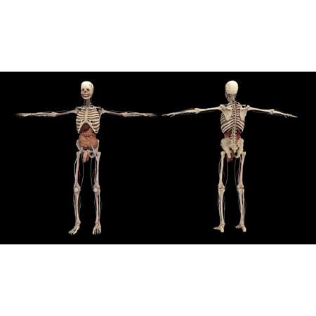 3D rendering of human skeleton with internal organs Poster