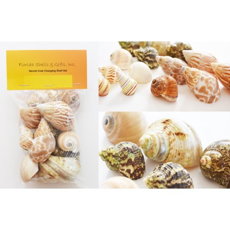 "Select 15 Hermit Crab Shells Assorted Changing Seashells SMALL 3/4""-2"" Size (opening size 3/8"" - 1 1/4"") Beautiful"