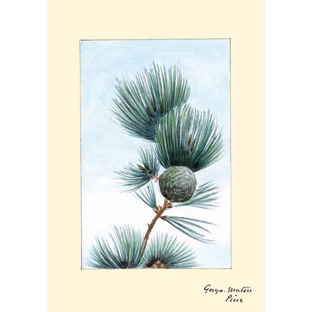 Japanese print of Drawing shows a branch of the gayo matsu pine with pinecone and needles Poster Print by Megata Morikaga