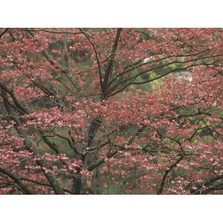Pink Dogwood Tree in Full Bloom, Cornus Florida Rubra, Lexington, Kentucky, USA Print Wall Art By Adam Jones](Dogwood Bloom)