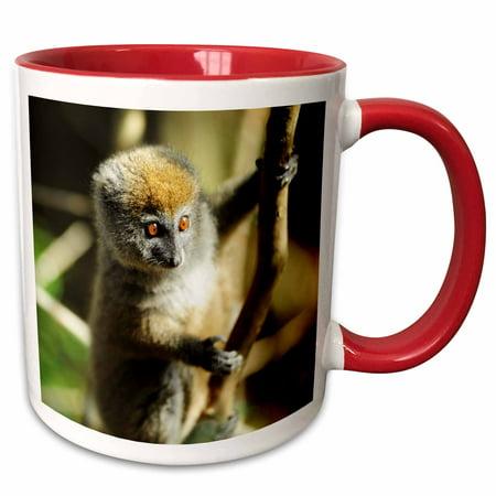 3dRose Madagascar, Andasibe, Ile Aux Lemuriens, Baby Golden Bamboo Lemur - Two Tone Red Mug, 15-ounce