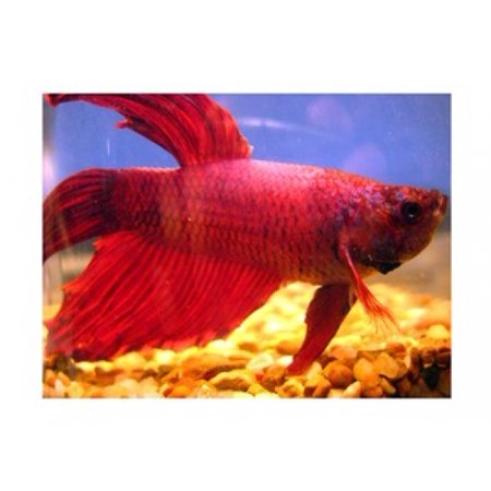 Red betta fish poster print 16 x 12 for How much are betta fish at walmart