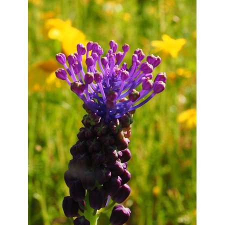 Canvas Print Schopf-Grape Hyacinth Flower Bloom Violet Blossom Stretched Canvas 10 x 14 ()