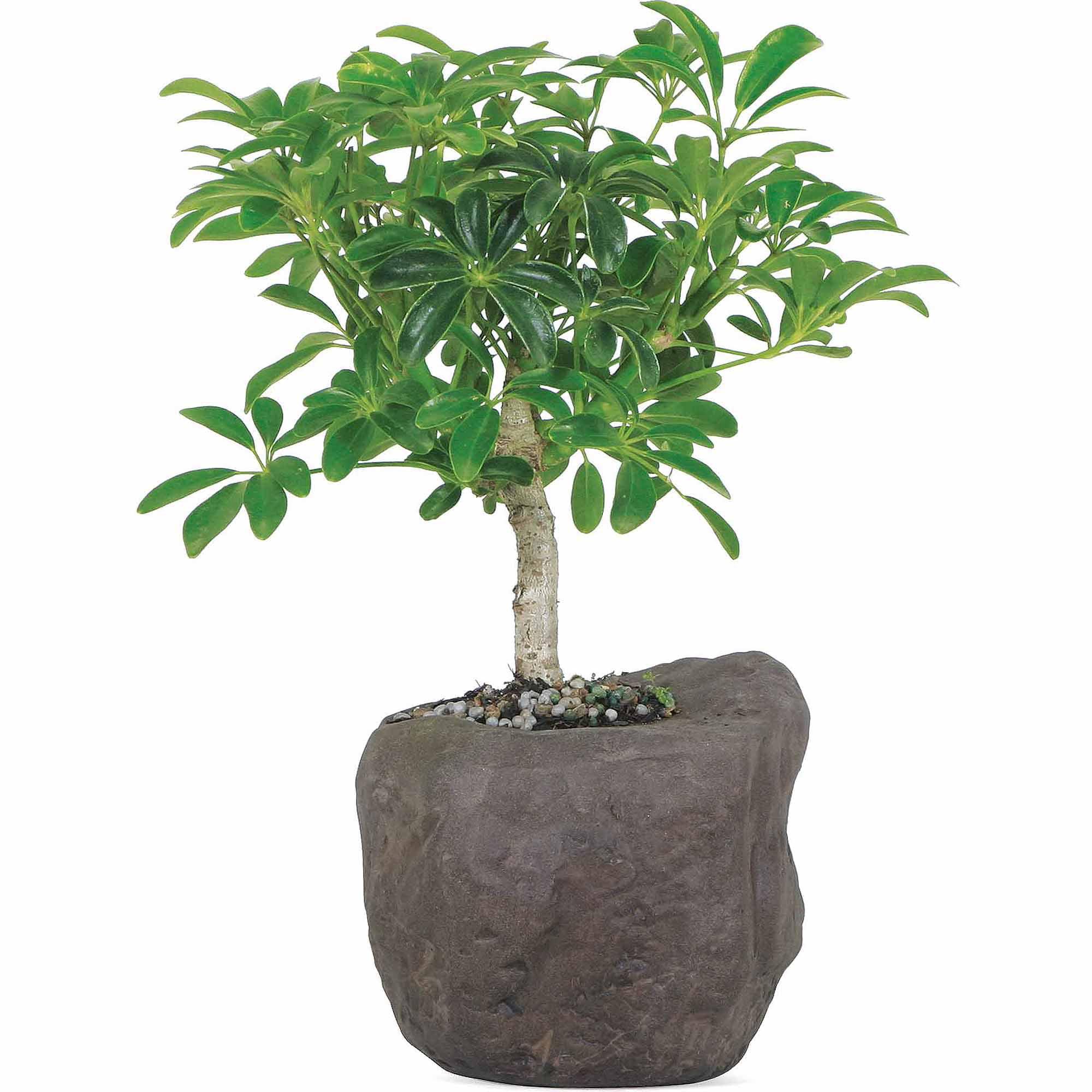 Hawaiian Umbrella Bonsai Tree In Rock Pot Walmart Com Walmart Com
