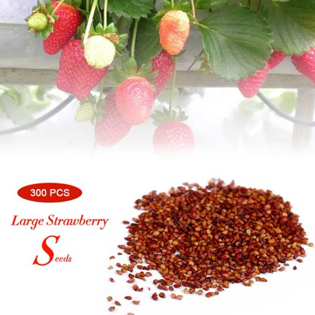 Cergrey 300Pcs/Pack Super Large Strawberry Seeds Home Garden Red Color Sweet Delicious Fruit Plant, Sweet Strawberry Seeds, Delicious Strawberry Seeds - image 4 of 7