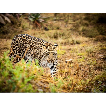 LAMINATED POSTER Savannah Leopard Wild Animals Spotted Poster Print 24 x (Savannah Leopard)